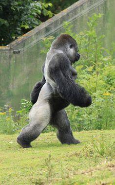 Bf38e96b71030c1ae5d0d12a712a1d19 western lowland gorilla silverback gorilla